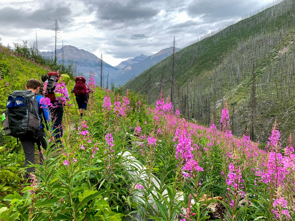 Fireweed on the trail from Floe Lake
