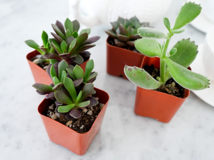 mini succulents used by Eva Amurri Martino on the Happily Eva After blog for her DIY Teacup Planters feature