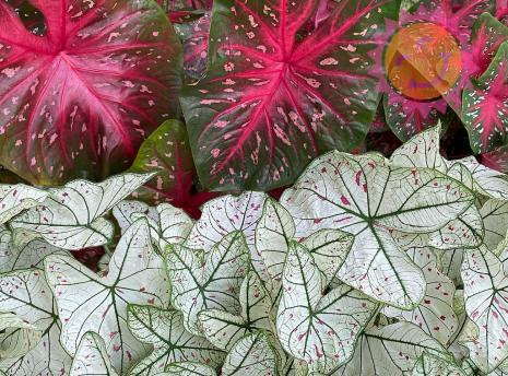Cranberry Star White and Red Flash Red Fancy Leaf Caladiums