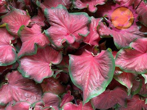 Florida Red Ruffles Red Lance Leaf Caladiums