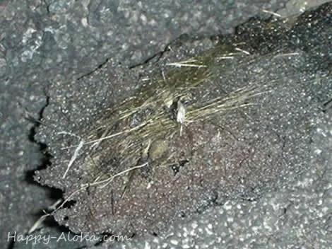 ペレの髪の毛
