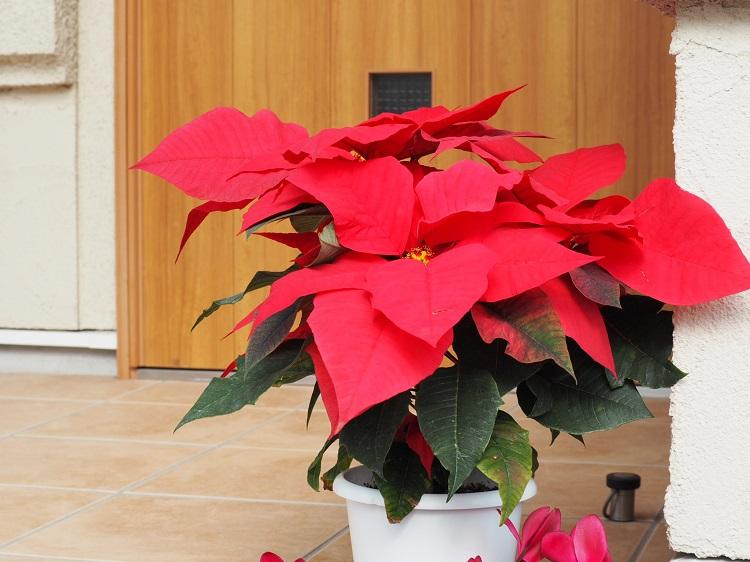 玄関先にもクリスマスカラーのものを。