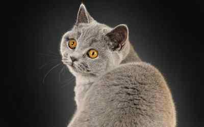 Die Britisch Kurzhaar-Katze