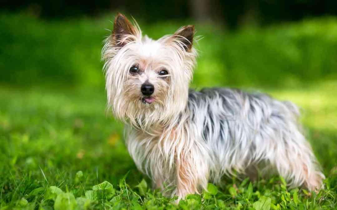 Der Yorkshire Terrier