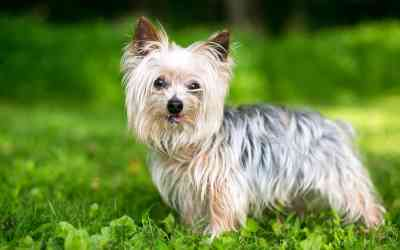 Der Yorkshire Terrier
