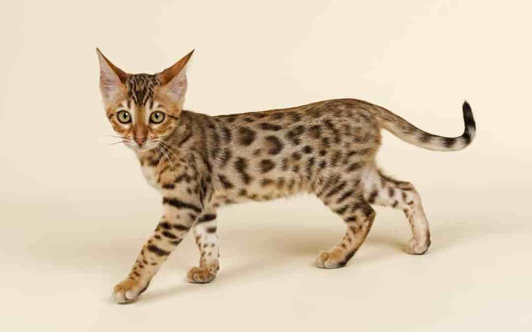 Kreuzung Wildkatze Hauskatze