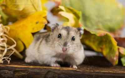 Brauchen Hamster Freilauf?