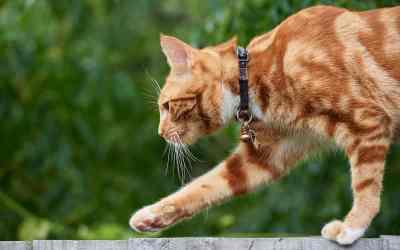 Wie gefährlich sind Katzenhalsbänder?