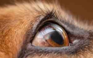 Bindehautentzündung beim Hund