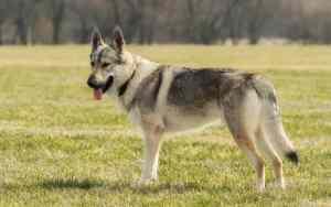 Der Wolfshund