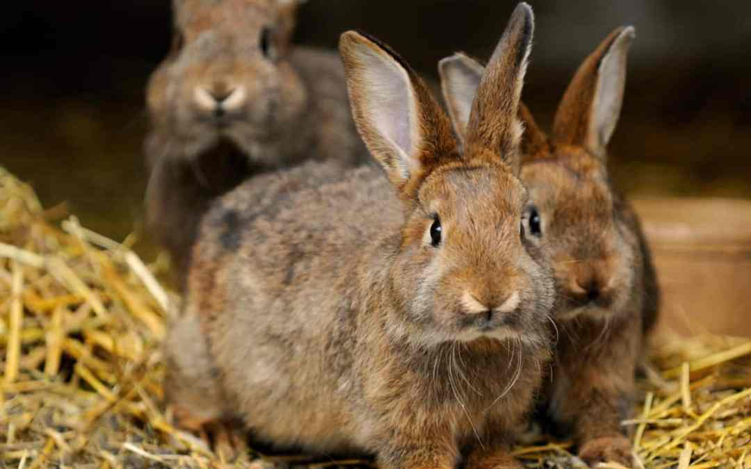 Schutzimpfungen für Kaninchen