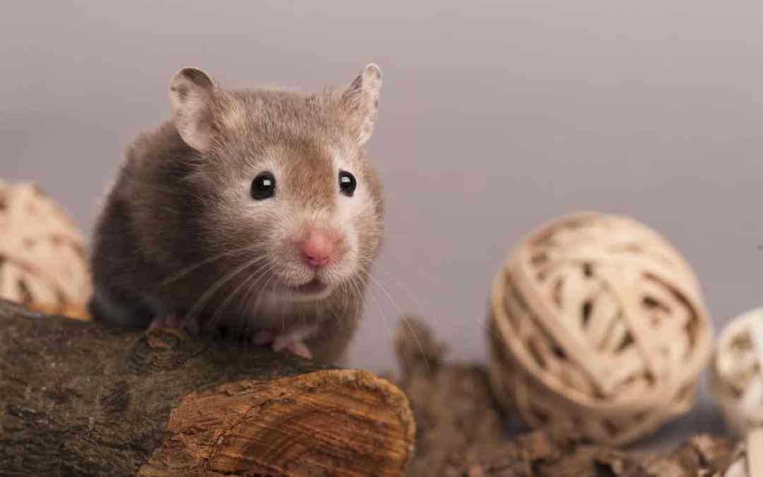 Gebärmutterentzündung beim Hamster