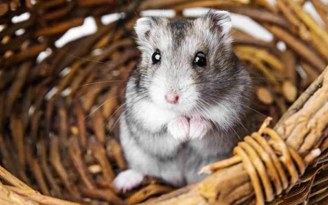 4 Tipps, wenn du einen Hamster kaufen möchtest