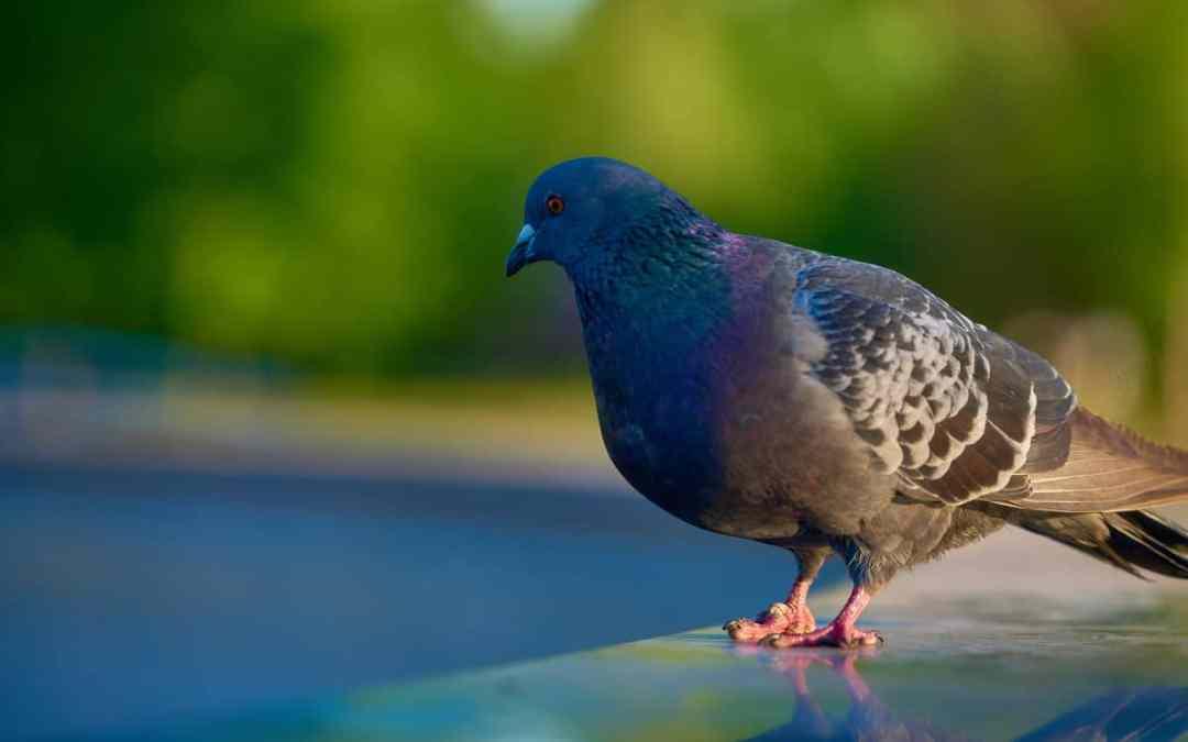Tauben – Plage oder schützenswert?