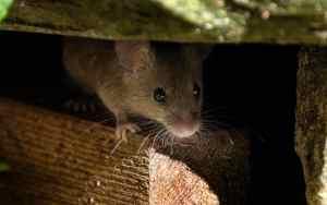 So können Mäuse sicheren Freilauf bekommen