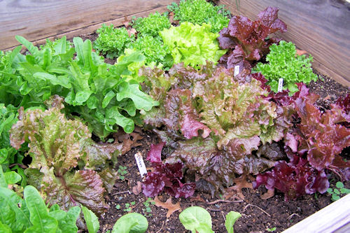 Bed of multi-colored leaf lettuce