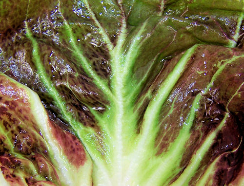 Red Preco Radicchio leaf