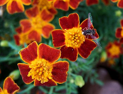 Marigold Red Gem