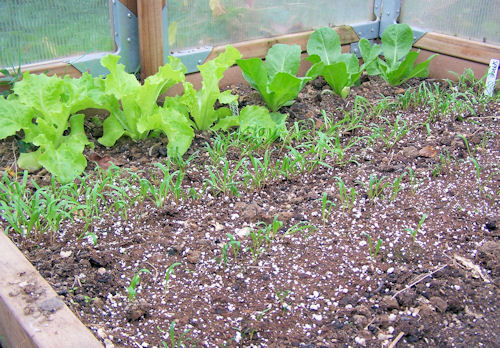 Spinach coming up in greenhouse