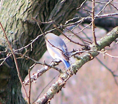 female bluebird in mulberry tree