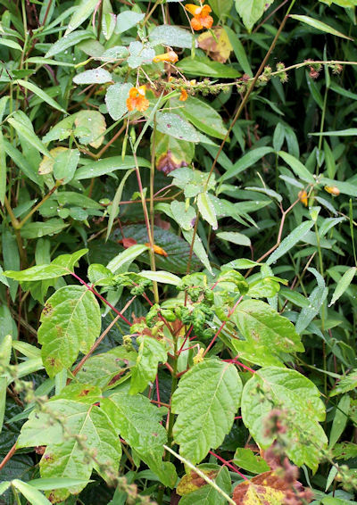 Jewelweed and poison ivy growing together