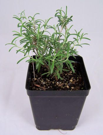 """young """"Arp"""" rosemary plant"""