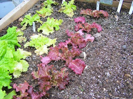 Simpson Elite and New Red Fire lettuces