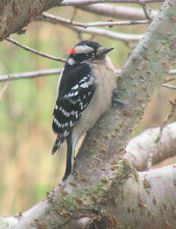 Downy woodpecker on ornamental cherry tree
