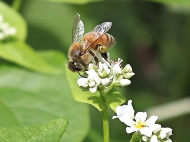honeybee on buckwheat flower