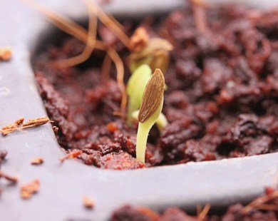 lettuce seedling emerging from coco coir mix