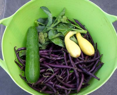 Purple Queen beans from a 2010 harvest