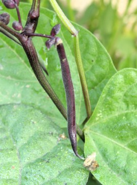 Purple Queen bean pod