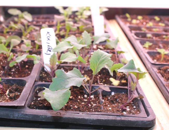 kohlrabi seedlings