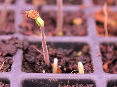 tomato seed germinating