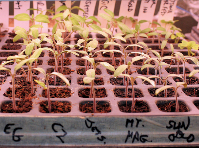 tomato seeds sprouting in 200 cell plug tray