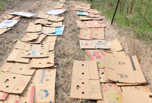 cardboard mulch for asparagus