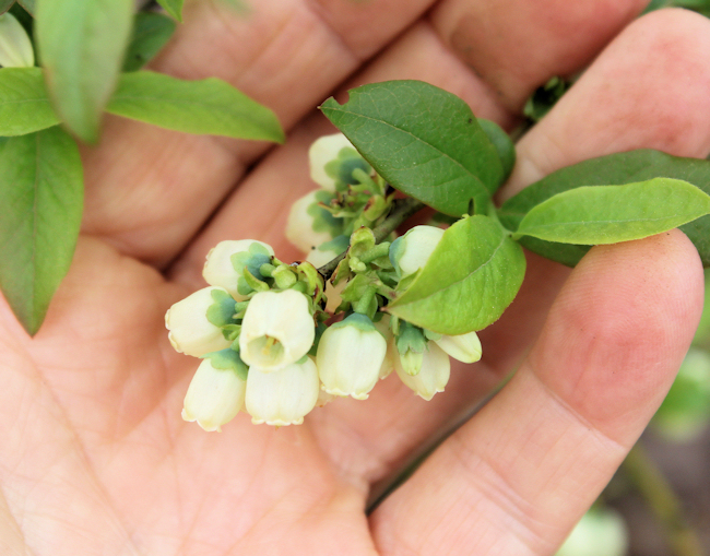 cluster of blueberry blossoms