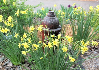 late blooming daffodils