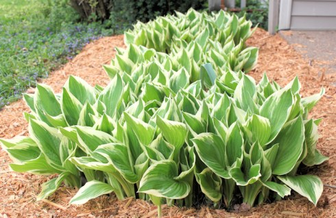 variegated hostas by front porch