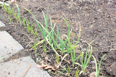row of green garlic