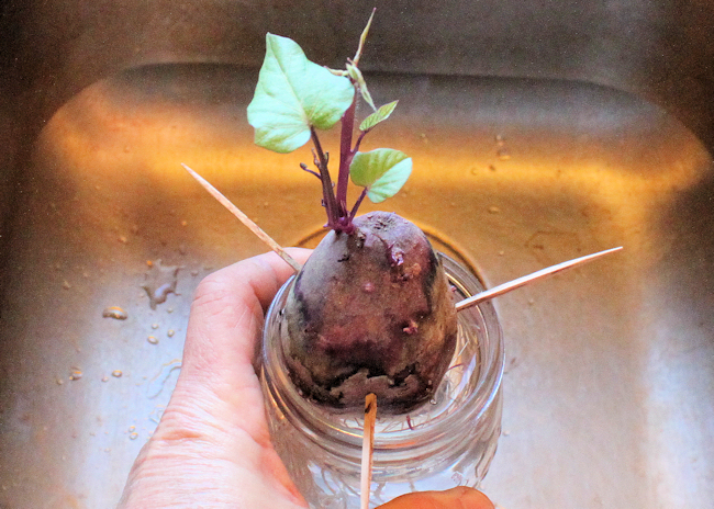 Carla's Purple sweet potato rooting in water