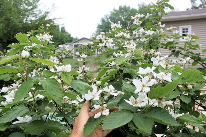 Apache blackberries in bloom