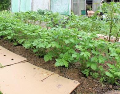 fingerling potatoes growing