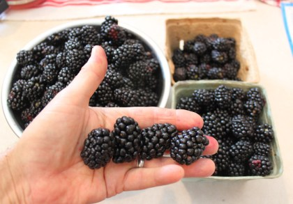 Apache thornless blackberries are big and sweet