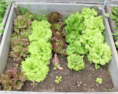 a selection of lettuces growing in a cold frame bed