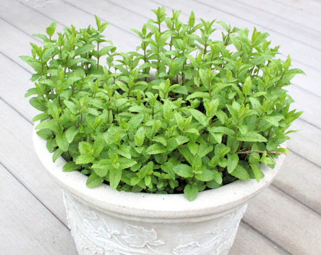 Spearmint 'The Best'