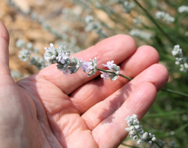 flowering Melissa lavender