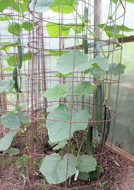 Tasty Jade cucumbers supported by cage