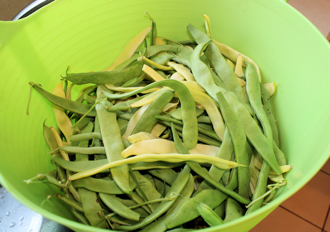 harvest of snap beans