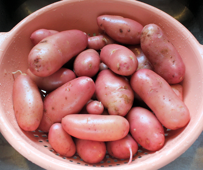 French Fingerling potatoes from 2013